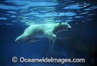 Polar Bear swimming underwater image