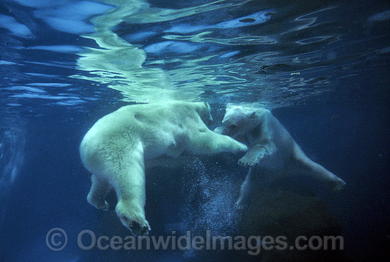 Polar Bear (Ursus maritimus) swimming underwater. North Pole region. Classified Vulnerable on the IUCN Red List.