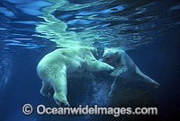 Polar Bear Uswimming underwater