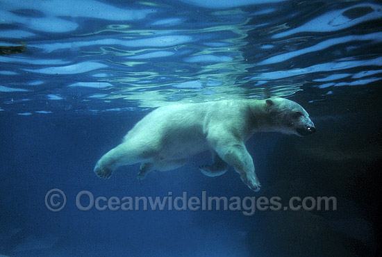 Polar Bear Ursus maritimus photo