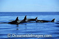 Orca Orcinus orca Photo - Lin Sutherland