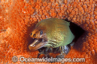 Green Moray Eel in sponge image