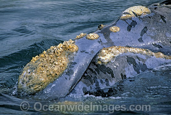 Southern Right Whale showing callosities photo