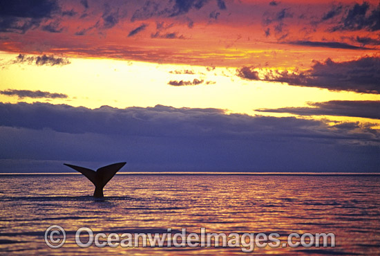 Southern Right Whale (Eubalaena australis) - tail fluke during sunset. Southern Australia. Listed as Vulnerable on the IUCN Red List.