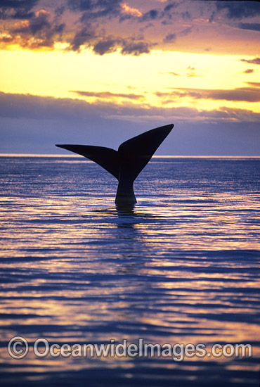 Southern Right Whale tail fluke during sunset photo