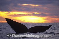 Southern Right Whale tail fluke during sunset Photo - Lin Sutherland