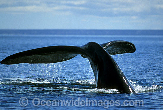 Southern Right Whale tail fluke photo