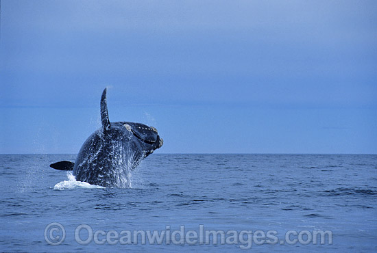 Southern Right Whale (Eubalaena australis) - breaching. Southern Australia. Listed as Vulnerable on the IUCN Red List. Photo - Lin Sutherland
