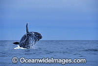 Southern Right Whale breaching Photo - Lin Sutherland