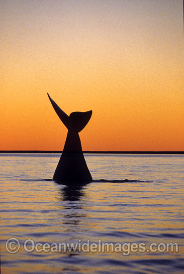 Southern Right Whale (Eubalaena australis) - tail fluke during sunset. Southern Australia. Listed as Vulnerable on the IUCN Red List. Photo - Lin Sutherland