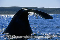 Southern Right Whale tail fluke Photo - Lin Sutherland