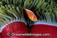 Pink Anemonefish beneath Anemone