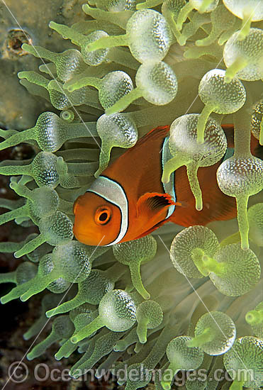 Spine-cheek Anemonefish (Premnas biaculeatus) - juvenile amongst anemone tentacles. Also known as Tomato Clownfish. Great Barrier Reef, Queensland, Australia