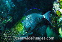 Moray Eel eating Surgeonfish image