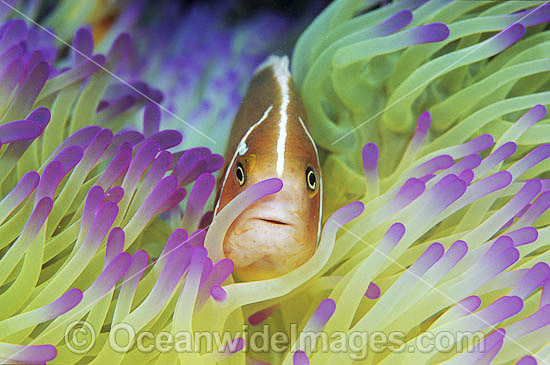 Pink Anemonefish (Amphiprion perideraion) amongst anemone tentacles. Great Barrier Reef, Queensland, Australia
