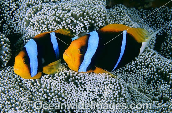 Orange-fin Anemonefish (Amphiprion chrysopterus) amongst anemone tentacles. Great Barrier Reef, Queensland, Australia Photo - Gary Bell