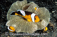 Panda Clownfish Photo - Gary Bell