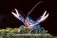 Lamington Spiny Lobster Photo - Gary Bell
