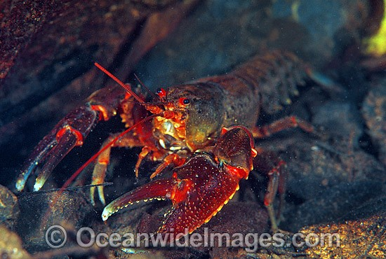 Freshwater Crayfish (Euastacus sp.). Also known as Spiny Cray. Never Never River, Bellingin, New South Wales, Australia. Photo - Gary Bell