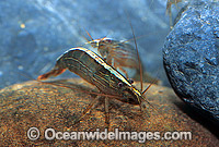 Rifle Shrimp Australatya striolata Photo - Gary Bell