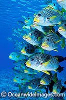 Diagonal-banded Sweetlips schooling Photo - Gary Bell
