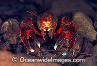 Freshwater Crayfish Photo - Gary Bell