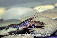 Cherax sp. Crayfish Photo - Gary Bell