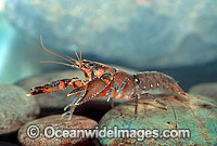 Freshwater Yabby Crayfish Photo - Gary Bell