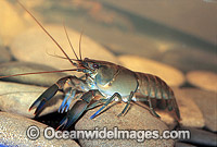 Freshwater Yabby Cherax sp. Photo - Gary Bell