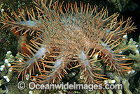 Crown-of-thorns Starfish feeding on Acropora Coral