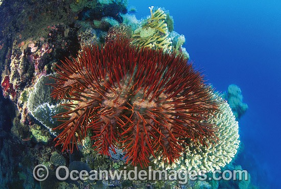 Crown-of-thorns Starfish feeding photo