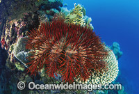 Crown-of-thorns Starfish feeding image
