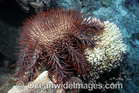 Crown-of-thorns Starfish feeding on Coral