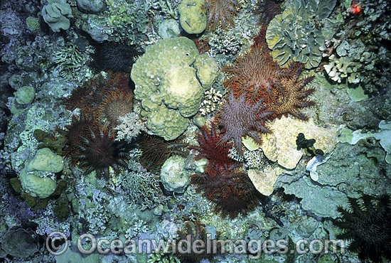 Crown-of-thorns Starfish feeding on Corals photo