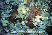 Crown-of-thorns Starfish feeding on Corals image