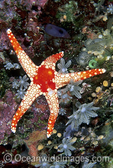 Orange Marble Sea Star (Fromia monilis). Also known as orange Marble Starfish. Great Barrier Reef, Queensland, Australia Photo - Gary Bell