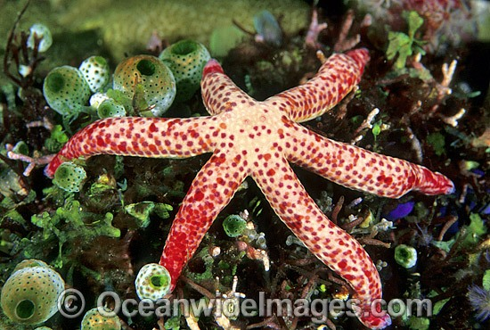Linckia Sea Star (Linckia multifora). Also known as Linckia Starfish. Great Barrier Reef, Queensland, Australia