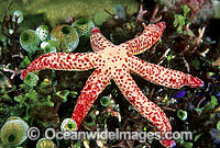 Blue Linckia Sea Star Linckia multifora Photo - Gary Bell