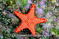 Biscuit Star Pentagonaster duebeni Photo - Gary Bell