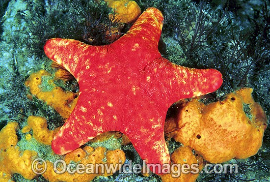 Velvet Sea Star (Petricia vernicina). Also known as Velvet Starfish. Edtithburgh, South Australia Photo - Gary Bell