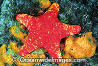 Velvet Sea Star Petricia vernicina Photo - Gary Bell