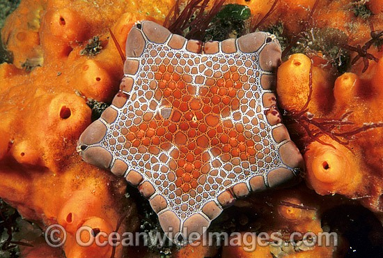Biscuit Star (Tosia australis) - surrounded by Sponge. Also known as Biscuit Starfish. Edithburgh, South Australia