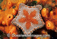 Biscuit Star on sponge Photo - Gary Bell