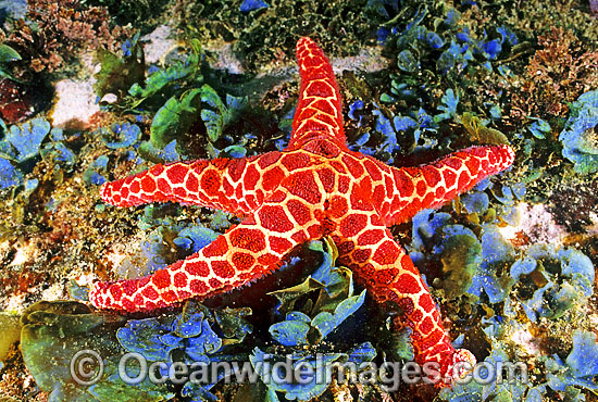 Mosaic Sea Star (Plectaster decanus) amongst sea algae. Also known as Mosaic Starfish. Solitary Islands, New South Wales, Australia Photo - Gary Bell