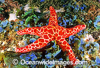 Mosaic Sea Star Plectaster decanus Photo - Gary Bell