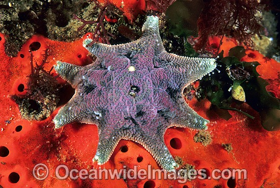 Spurred Sea Star (Patiriella calcar) - surrounded by encrusting Sponge. Also known as Spurred Starfish. Solitary Islands, New South Wales, Australia
