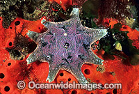 Spurred Sea Star Patiriella calcar Photo - Gary Bell