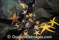 Northern Pacific Sea Star feeding Photo - Gary Bell