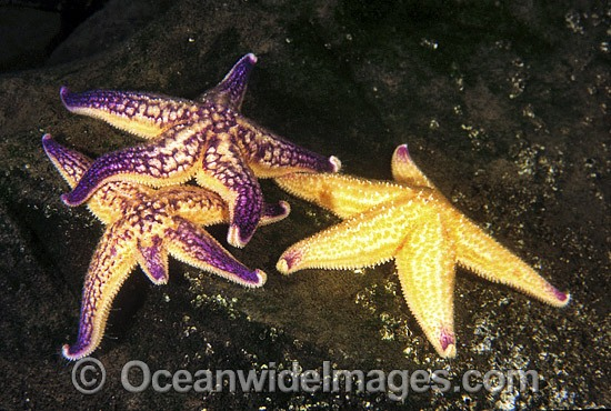 Northern Pacific Sea Stars (Asterias amurensis) - feeding on encrusting organisms. Also known as Northern Pacific Starfish. Introduced species from Japan or Korea, probably from discarded ships ballast water. Derwent Estuary, Tasmania, Australia Photo - Gary Bell