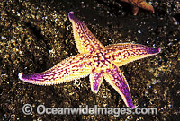 Northern Pacific Sea Star regenerating arm image
